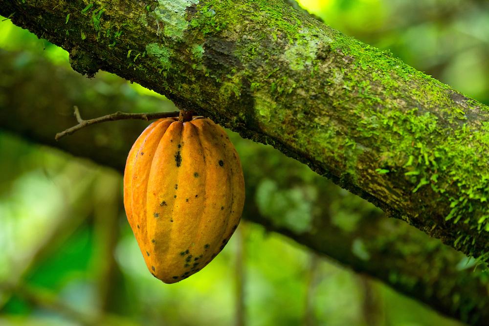 South America, Peru, Manu National Park, cocoa,