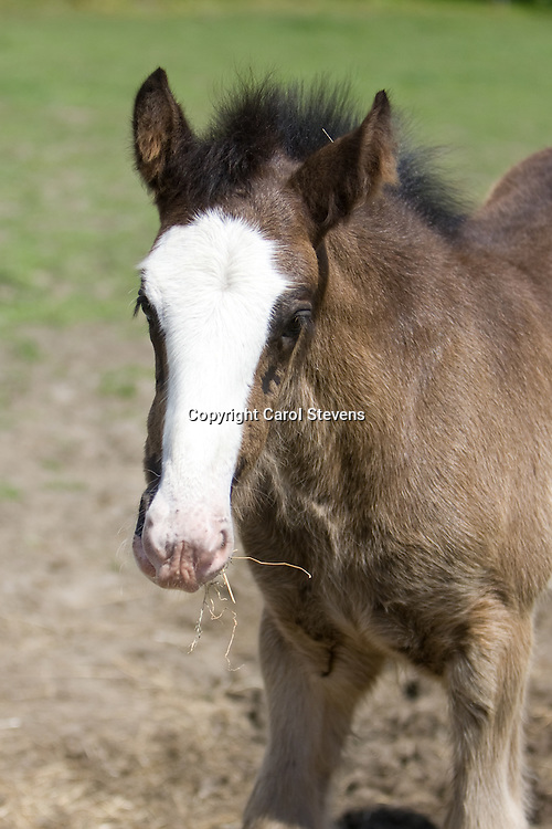 Shire Horse Families - Foals and Mares