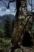 Caché dans un arbre ou une tente d'observation, le filmeur et documentariste Rony Mast observe les animaux sauvages depuis sa cachette dans un tronc d'un vieille arbre.  Versteckt sich in einem ausgehöhlten Baum oder einem Zelt beobachtet der Tierfilmer Rony Mast den Wildwechsel. Jaun, 2010. Au cycle des quartes saisons Ronny Mast décrit avec des séquences fascinantes la vie des animaux sauvages dans la flore et la faune magnifiques des montagnes. Toutes les prises de vues sont captées dans la vallée de la Jogne. © Romano P. Riedo