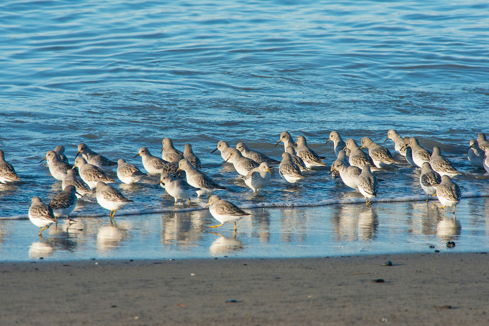 Rock Sandpipers spend the winter on the shores of Cook Inlet and Kachemak Bay in Alaska feeding on saltwater worms and tiny clams, etc.