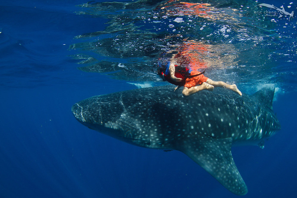 A 5-year old boy swims with a whale shark (Rhincodon typus) at a feeding aggregation off of Isla Mujeres, Mexico