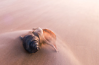 a couple of channel whelk shells glow in the morning light as a gentle wave washes around them in ghostly fashion