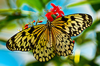 Butterflies, Key West Butterfly & Nature Conservancy, Key West, Florida Keys, Florida USA
