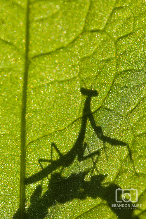 A macro shot of a praying mantis silhouetted behind a leaf.