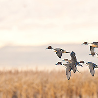 courtship flight, northing pintail ducks courship flight