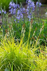 Carex elata 'Aurea' - Bowles golden grass in front of camassias at Glebe Cottage