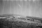 Farmers use donkeys to transport sand and cement up Croagh Patrick for work on the exterior of the Oratory. A hailstorm comes down during the ascent..15-17.05.1962