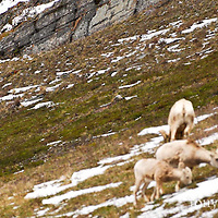 a grizzly bear stalks unsuspecting bighorn sheep sping glacier national park wild rocky mountain big horn sheep