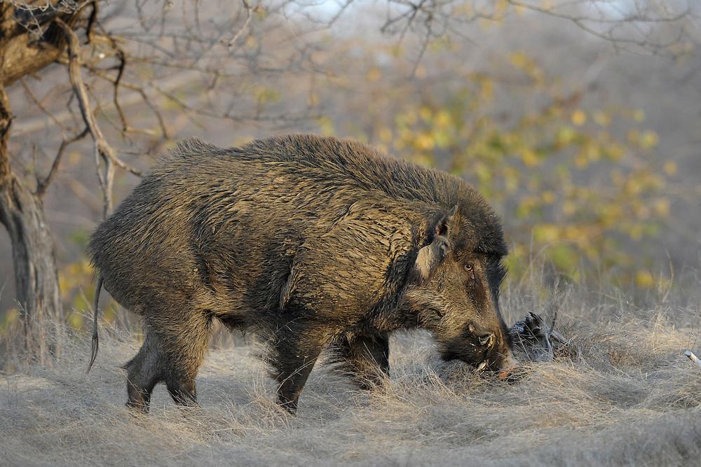 Wildschweineber im Ranthambore National Park, Indien