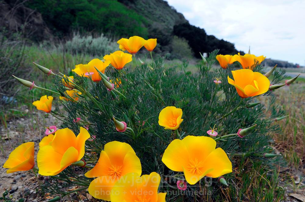 California Poppy (Eschscholzia californica) off River Road near Gonzalez bloom in mid-February.
