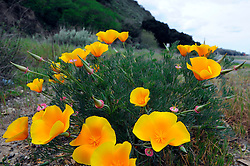 California Poppy (Eschscholzia californica) off River Road near Gonzalez bloom in mid-February.