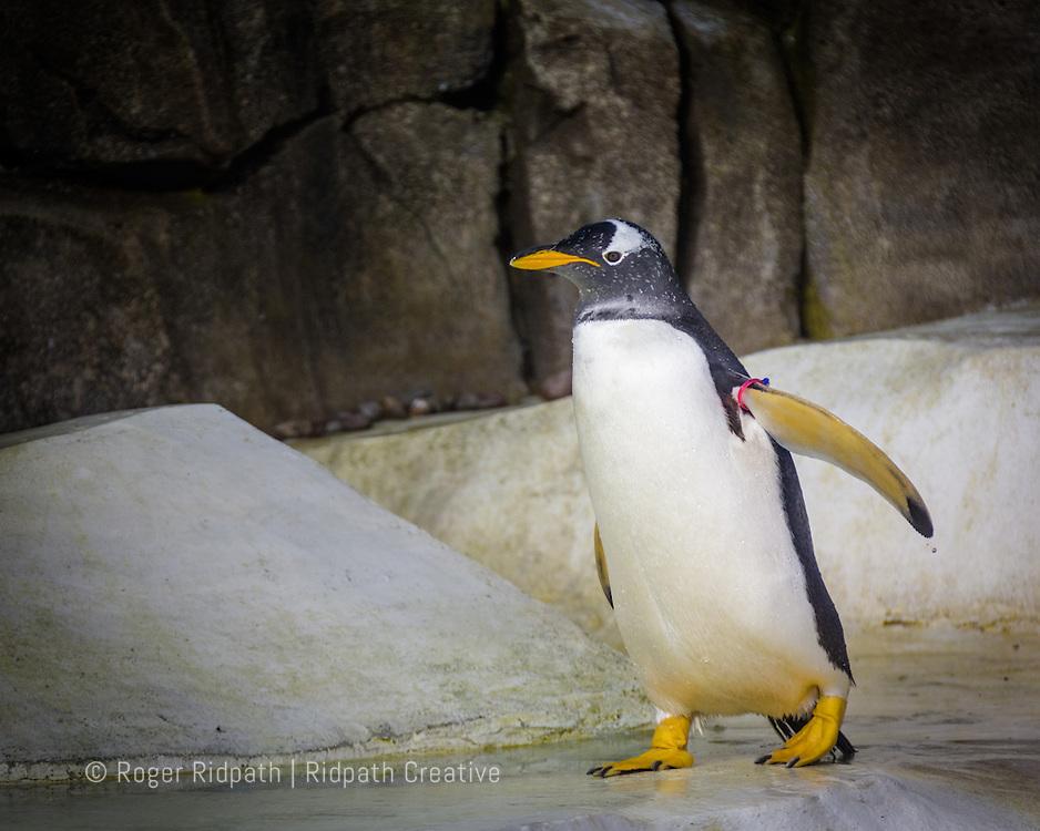 Gentoo Penguin walking at Kansas City Zoo