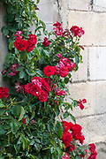 rose bush, Esterri d'Aneu, Pyrenees mountains, Catalonia, Spain.
