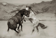 Wild Stallions Fighting, Onaqi Herd, Great Basin