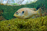 Spotted Sunfish<br />