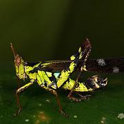 A Eumastacidae Grasshopper sitting on a leaf in a clearing at Huai Kha Kaeng, Thailand.