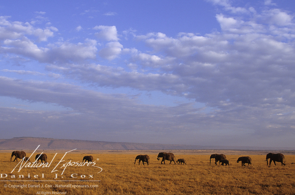 African Elephant (Loxodonta africana) herd on the Serengeti Plains. Masai Mara National Reserve, Kenya