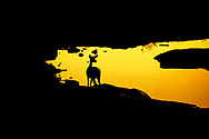 Silhouette of a black faced impala, Etosha National Park, Namibia