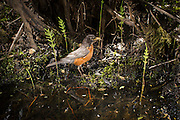 An American robin (Turdus migratorius) with a beak full of grubs. Photographed with an automated camera in a willow patch along the Big Hole River in Big Hole National Battlefield. Via permit.