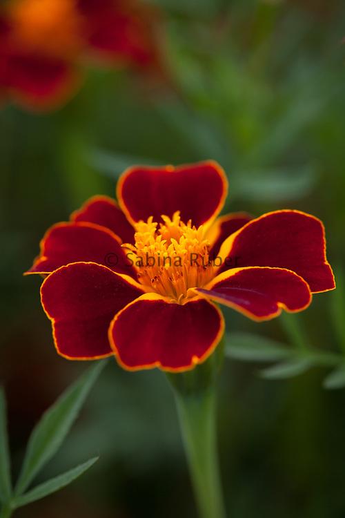 Tagetes linnaeus 'Burning Embers' - marigold