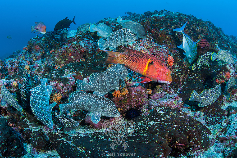 Hogfishes and Leather Bass forage on a rocky seamount<br /> <br /> <br /> Shot at Cocos Island, Costa Rica