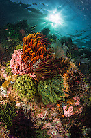 Colorful soft corals festoon ever available spaces in the shallow sunlit area on top of the reef. Komodo, Indonesia.