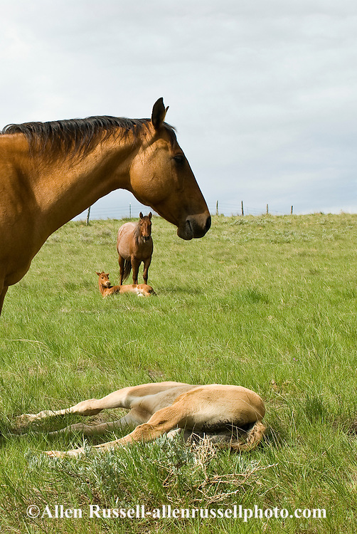 Quarter Horses, buckskin mare watches over sleeping foal<br /> PROPERTY RELEASED