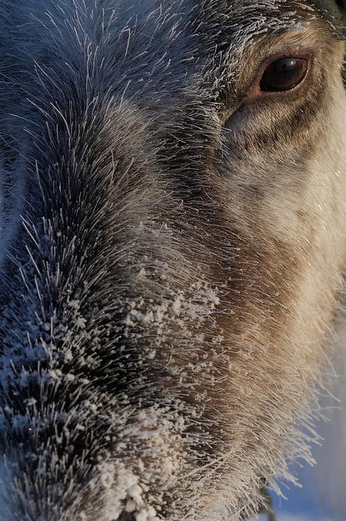 Reindeer, Rangifer tarandus, Laponia WHR, Lapland, Sweden