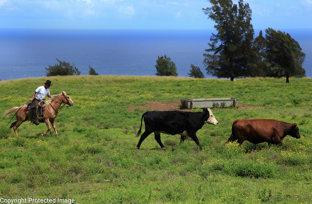 "Sonny Keakealani, one of the most respected cowboys in the community and patriarch of the Keakealani family, chases a few stray cows while moving a group of cattle from one pasture to another in Honakaa, Hawaii.  Sonny has mentored many younger cowboys over the years and while now offiially retired from Parker Ranch, still works a few days a week for a ranch in Honakaa and is often called on by old friends and ranch owners to help out with branding, weaning and moving cattle. ""I first learned how (to ride) when I was three years old.  My dad used to bellypack me on his horse.  I learned from dad riding, breaking and making cowboy horses,"" he says, reflecting back on the beginnings of his life as a cowboy.  In the distance one can see the Pacific ocean along the Kohala coast where Keakealani says he frequently sees whales breaching."