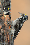 A male three-toed woodpecker (Picoides tridactylus) arrives at the cavity to feed his son, Missoula County