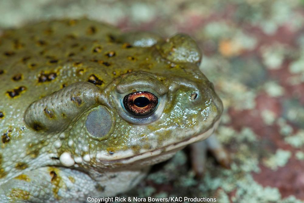 Sonoran Desert Toad <br /> Bufo alvarius<br /> Tucson, Pima County, Arizona, United States<br /> 20 September          Immature            Bufonidae