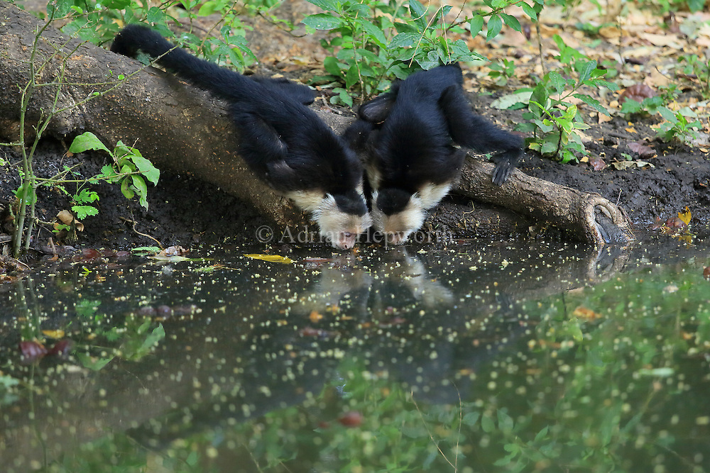 White-faced capuchin monkeys (Cebus capucinus) drinking from pool. Palo Verde National Park, Guanacaste, Costa Rica.