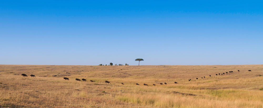 Long line of migrating wildebeest crossing the plains in the Masai Mara Reserve, Kenya, Africa (photo by Wildlife Photographer Matt Considine)