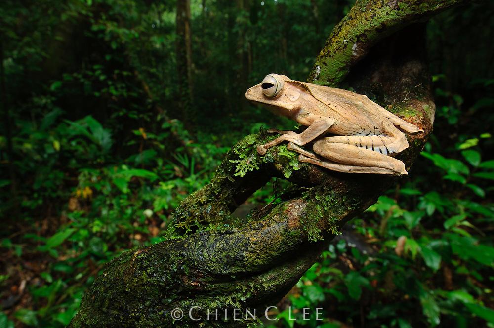 File-eared Tree Frog (Polypedates otilophus). Sarawak, Malaysia.