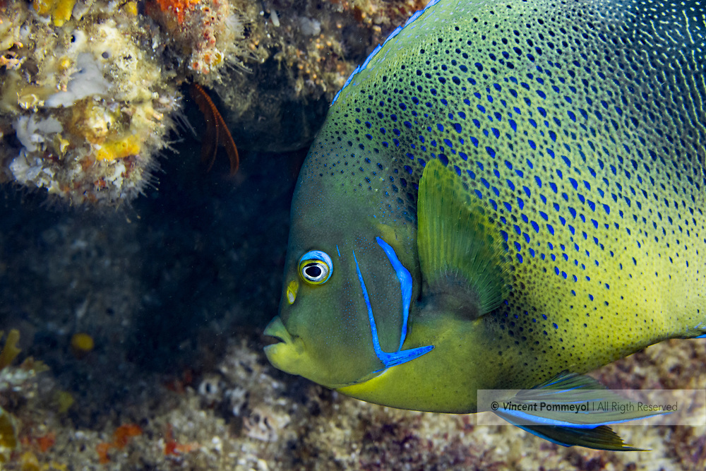 Semicircle angelfish-Poisson ange à demi-cercles (Holacanthus semicirculatus), indian ocean, South Africa.