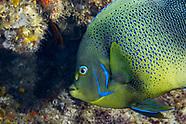 Semicircle angelfish (Holacanthus semicirculatus)