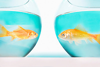 two goldfish facing each other in separate fish bowls studio shot