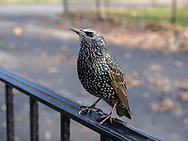 A Starling in Central Park, New York City.
