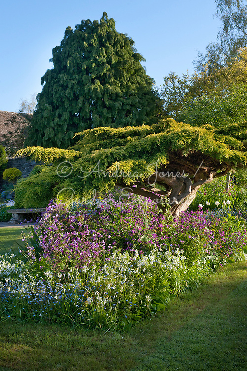 Golden foliage of Cupressus cv underplanted with honesty, bluebells, forgte-me-nots and tulips in Bed 4 at Barnsley House
