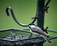 Black-capped Chickadee. Image taken with a Nikon D5 camera and 600 mm f/4 VR lens (ISO 1600, 600 mm, f/5.6, 1/320 sec).