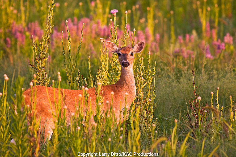White-tailed Deer (Odocoileus virginianus) female in wildflowers and tall grass, June, Oklahoma