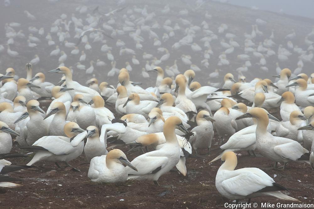 Northern gannet (Morus bassanus) in colony on Bonaventure Island (Île Bonaventure)<br />Parc national de l'Île-Bonaventure-et-du-Rocher-Percé<br />Quebec<br />Canada