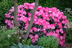 Rhododendron 'Fantastica'. The Morgan Stanley Garden for the NSPCC, RHS Chelsea Flower Show 2018