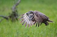 Flying great grey owl, Grand Teton National Park