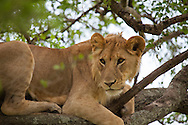 A young male lion sits in a tree in the Serengeti National Park. The park is a UNESCO World Heritage Site in Tanzania.