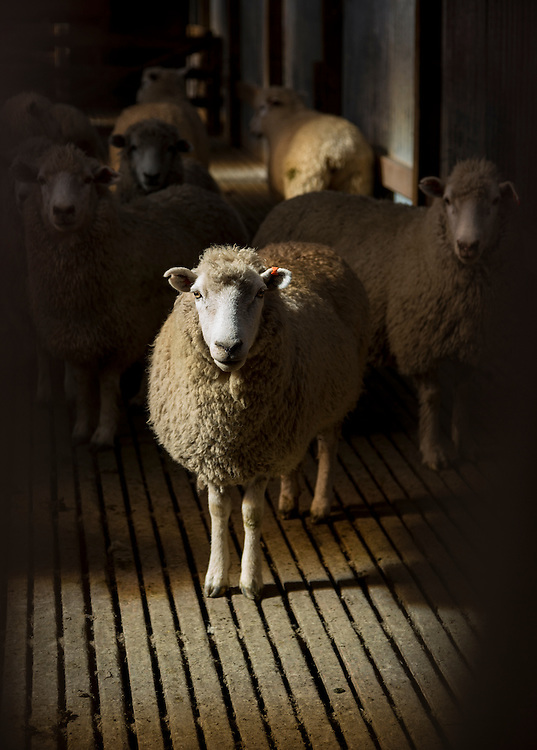 A Romney sheep stand in a dark shearing shed staring at the camera.