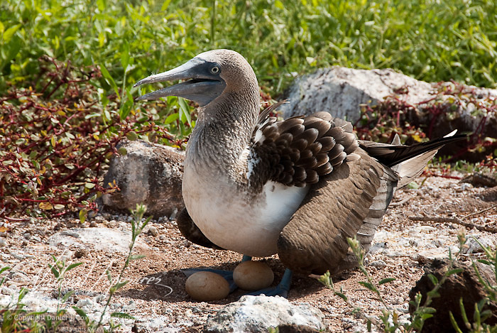 Blue-footed Booby (Sula nebouxi) adult watches over it's eggs.  Galapagos, Ecuador.
