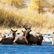 Roosevelt Elks in river