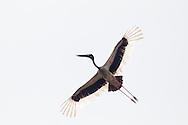 Black-necked stork, Kaziranga National Park, India
