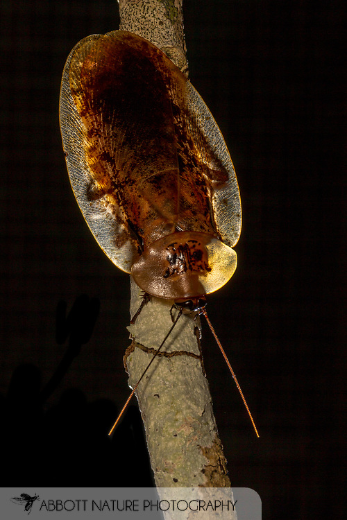 Peppered Cockroach (Archimandrita tesselata)<br /> BELIZE: Cayo District <br /> Ian Anderson's Caves Branch Lodge near Armenia<br /> 9-Aug-2015<br /> J.C. Abbott &amp; K.K. Abbott